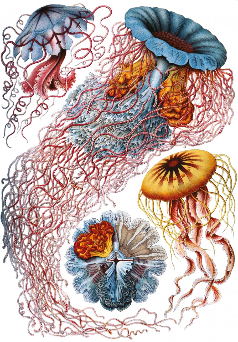 A female Aurelia sp. (left) broods many thousands of planula larvae that make up the white-edging of her oral arms. Many species of New Zealand jellyfish were first described in other parts of the world, a number by German biologist Ernst Haeckel, who illustrated them vividly, particularly in Kunstformen der Natur (opposite).