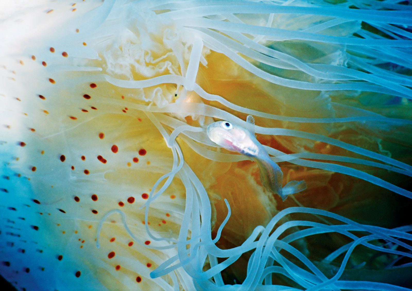 A larval fish tempts fate by swimming through Desmonema gaudichaudi's trailing tentacles—moments later the fish is sashimi. While not mobile enough to pursue prey, jellyfish are effective killers at close range. A loose network of nerves that link to a circular nerve ring is ever alert for stimuli. Contact with the prey triggers nematocysts— located in specialised cells called cnidocytes—to pierce the skin and inject venom.