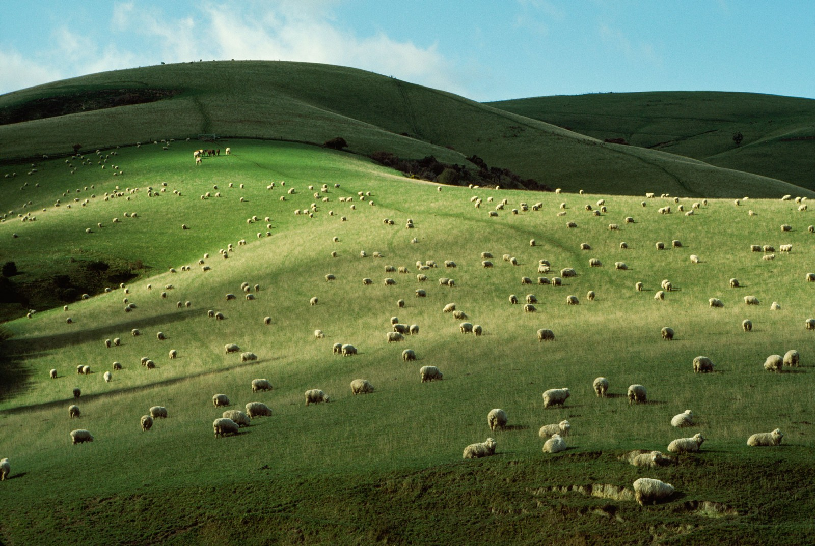 Such scenes were unscripted, marking a clear shift in photographic sensibilities. Sheep—the ubiquitous dots on Otago's rolling hills (as seen here) and the fluid dashes of Canterbury's high country musters (below)—became for Brake an additional sculptural element in what was already a sculptural landscape.