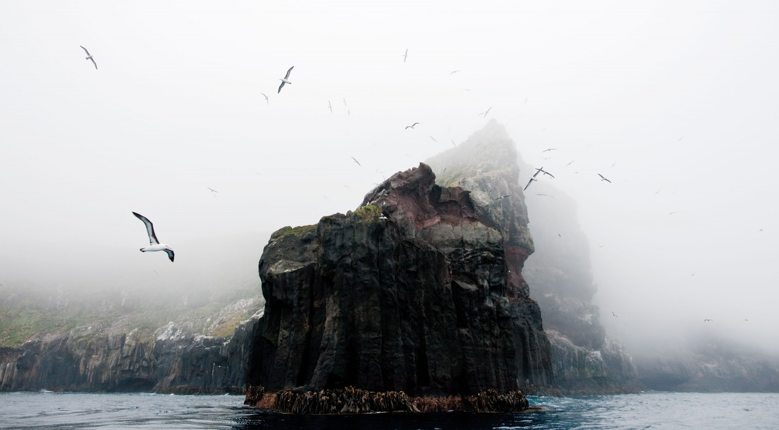 Ramparts of columnar basalt fringed with bull kelp and topped with tussock loom through the fog on a rare still day at Campbell Island/Motu Ihupuku. Such austere and weathered places—more often wave- and wind-lashed than calm—are the favoured rookeries of the Campbell albatross, a medium-sized albatross or mollymawk readily distinguished by the yellow iris of its eye. Three other albatross species breed on Campbell Island, including the giant-sized southern royal and Antipodean albatross, with their awe-inspiring three-metre wingspans. During the 1970s, large numbers of Campbell albatrosses were drowned through interacting with the tuna longline fishery, but as that fish stock has declined, and fishing effort has slackened, albatross numbers have increased. Even so, the species is still considered vulnerable as it breeds only on Campbell Island and is therefore susceptible to environmental change or damage.