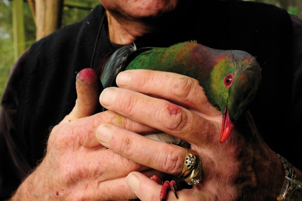Ken Rowe nurses an injured wood pigeon in an aviary at the Lochmara Lodge Wildlife Recovery Centre, his fingers stained magenta from hand-feeding frozen raspberries. Along with tending to wounded birdlife, the centre runs a captive breeding programme for endangered native species like the gecko, weka and both yellow- and red-crowned kakariki. Once rehabilitated, this kereru will be released into the surrounding forest.