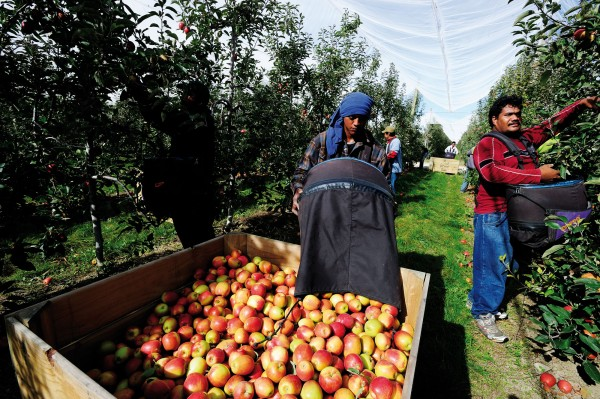Tongan seasonal workers harvest apples on a Riwaka orchard in early autumn. In years past the horticultural labour force consisted largely of students and alternative lifestylers, many staying on at season's end, putting down roots and fueling the Tasman district's cottage crafts industry. Now, teams of Pacific islanders bolster the local economy for a few months, before taking their hard-earned wages home to the islands.