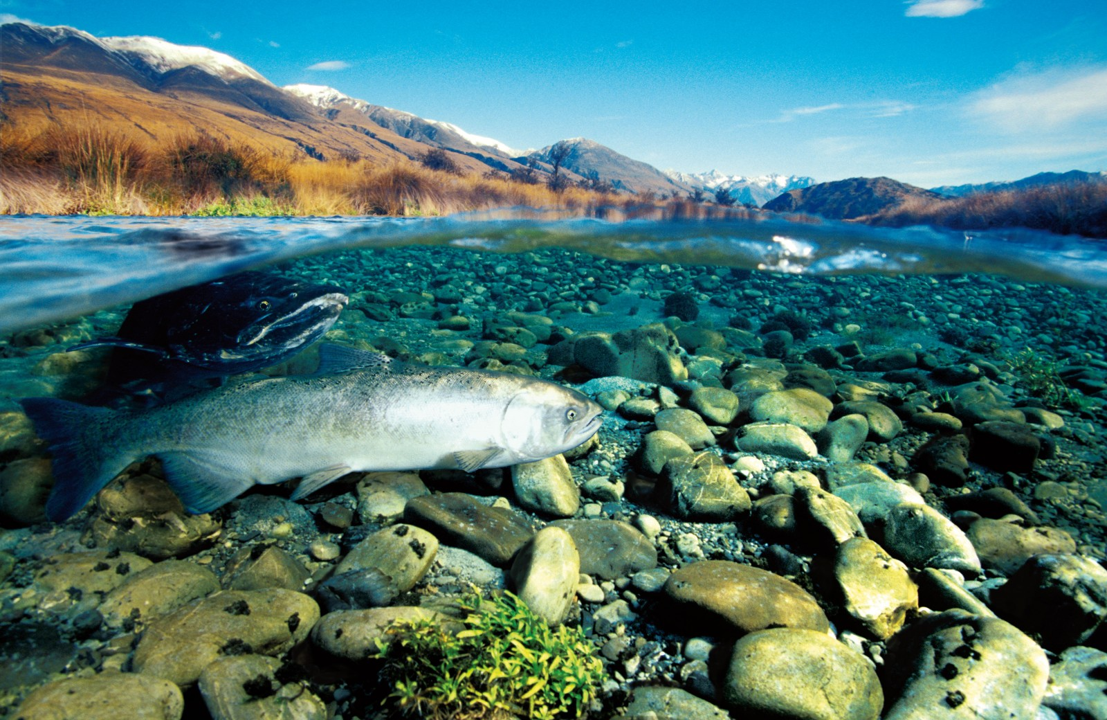 A pair of chinook, or quinnat, salmon prepare to spawn in Double Stream, in the Rakaia headwaters. Piecemeal liberations of spring-run stock from the McCloud River in California (see sidebar) in the late 1800s largely failed, but renewed efforts in the early 1900s eventually saw the prized sport fish taken during spawning runs along the Rangitata, Opihi, Ashburton, Rakaia, Waimakariri, Hurunui and the Waiau Rivers. The success of those later introductions has been put down to the use of ova from autumn-run populations.