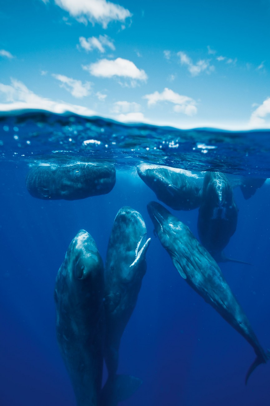 Female sperm whales spend their entire lives together in matriarchal groups, feeding, socialising, travelling thousands of miles and suckling each others' offspring. Males, by contrast, become progressively more solitary as they age. Full-grown bulls are the lone rangers of the oceans, journeying as far as the ice edges of the Arctic and Antarctic.
