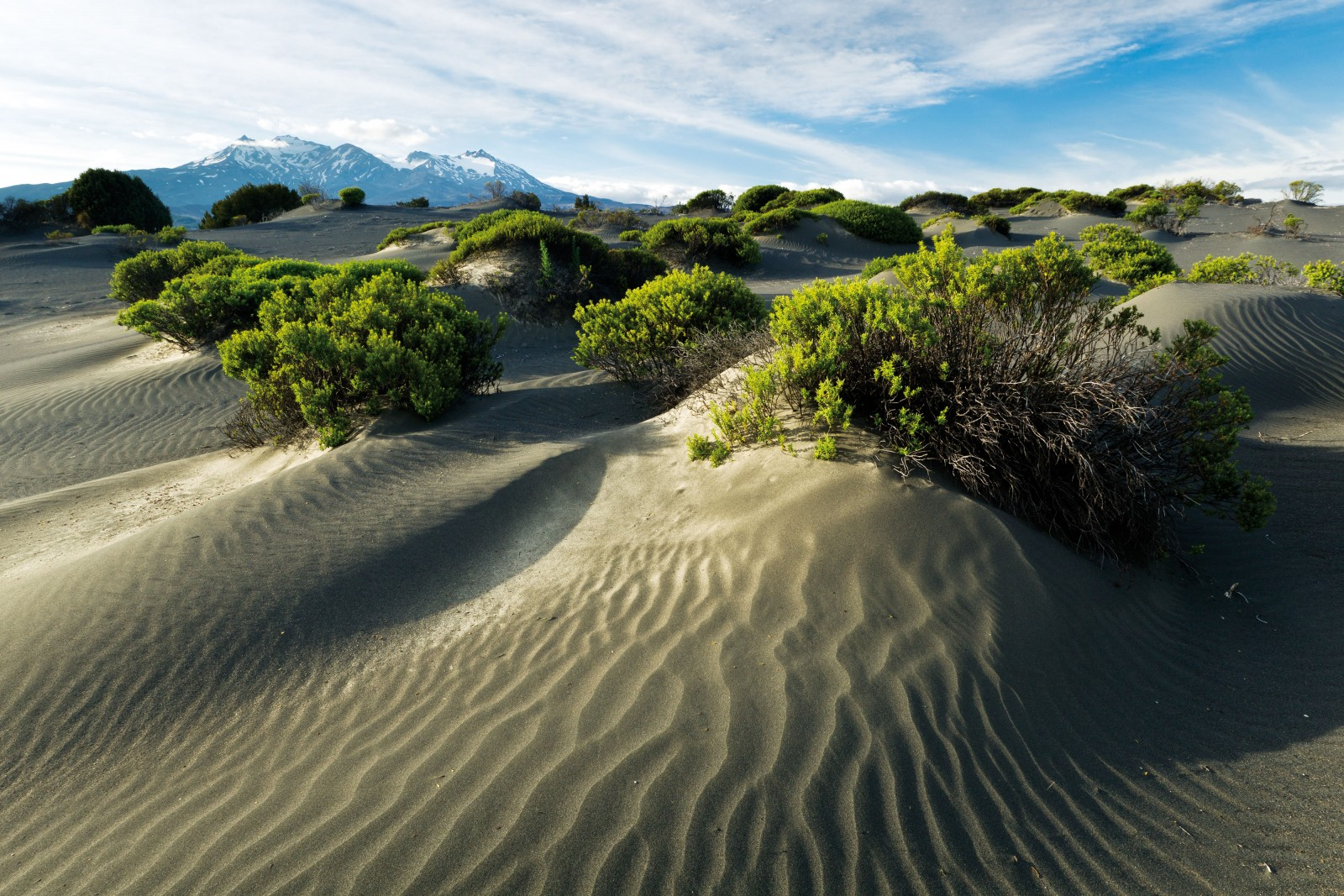 Ruapehu hebe live a precarious existence riding the shifting dunes. The bushy crop traps sand and helps to create and stabilise the dunes, but strong wind can still strip their root systems of any trace of soil and eventually kill them.