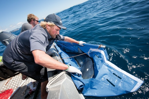PhD researcher Riley Elliott wrangles a mature blue shark into a PVC sling in order to go about the risky business of attaching a satellite tag to an apex predator. Shark skin is smooth when rubbed from snout to tail, but can take skin off like a belt sander in the opposite direction.