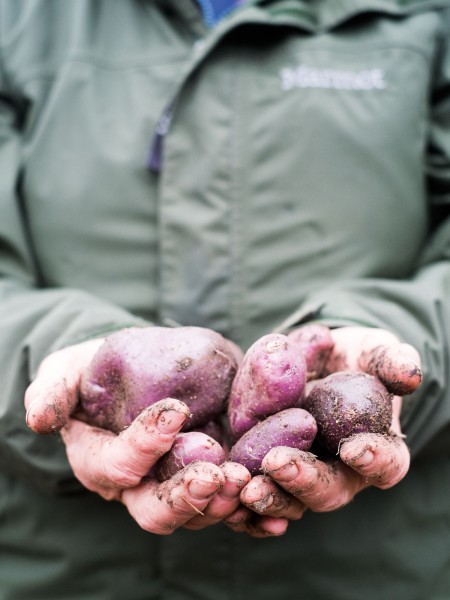 Not far away Alison MacTavish grows Moeraki potatoes, a distinctive purple Maori potato that is unique to the region. Thought to have descended from potatoes planted by Captain James Cook in the Marlborough Sounds, it would have been brought to Moeraki by whalers who traded with Maori.