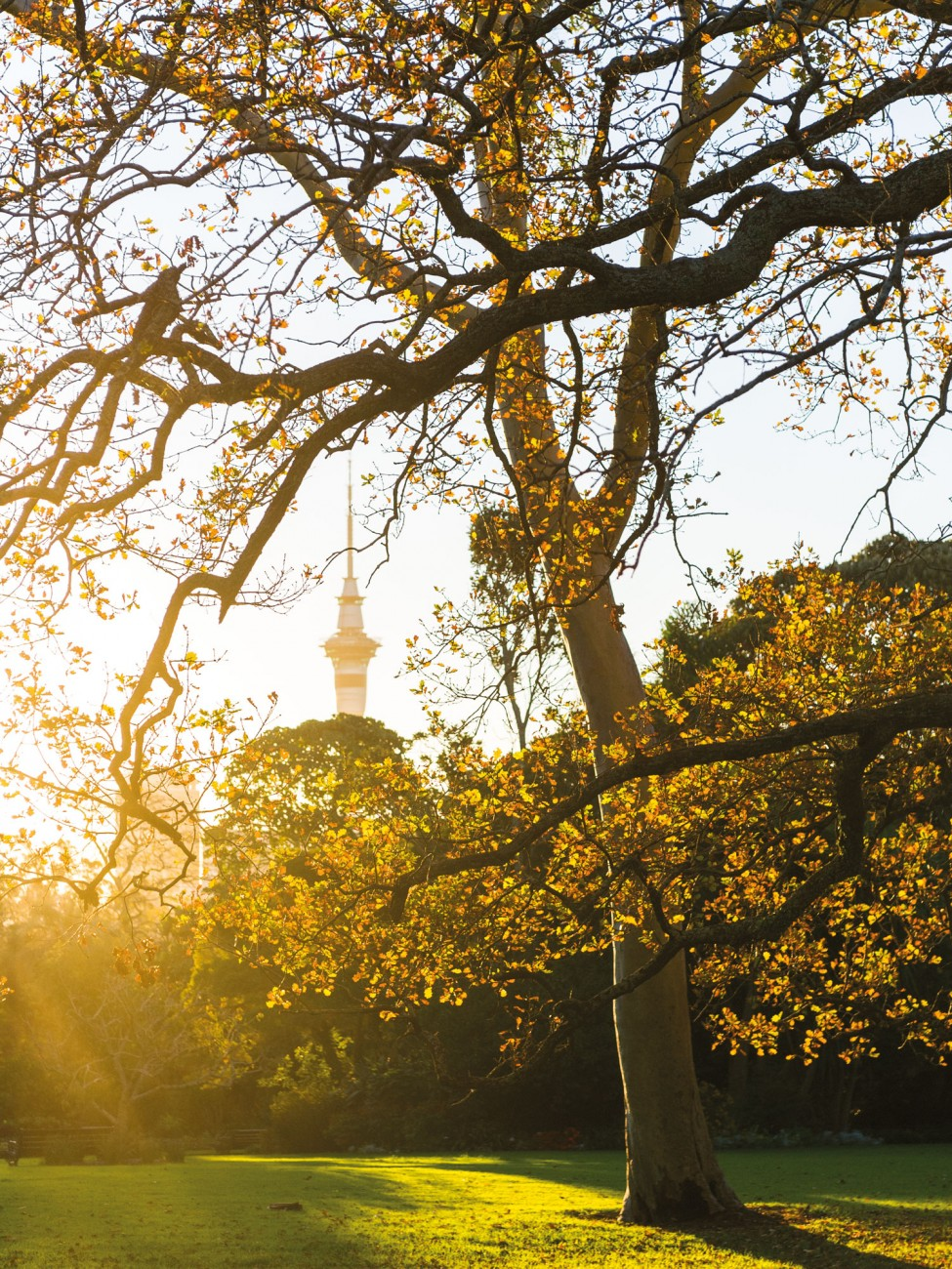 Auckland's Sky Tower, visible through the limbs of exotic elms and ghost gums , is a reminder of the urban context even deep within Auckland Domain—a space which has become both a filter for the city's air and a green heart for its citizenry.