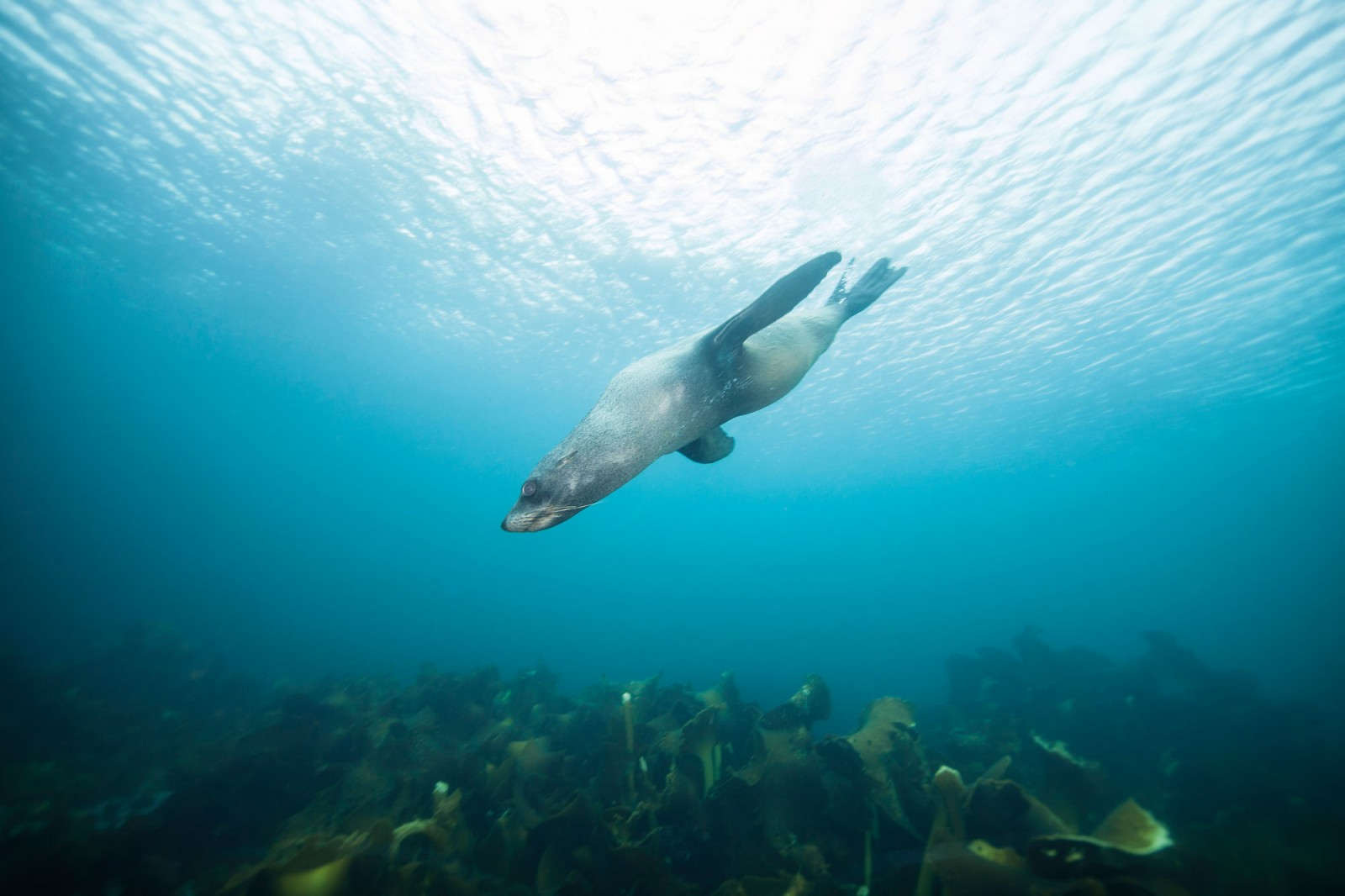 A New Zealand fur seal swoops past the photographer in the sapphire waters of Hut Cove, Antipodes Islands. The seals there appeared more wary of human presence than those in colonies on the mainland; not surprising given that 19th-century sealers took some 200,000 seals from the area in just two seasons.