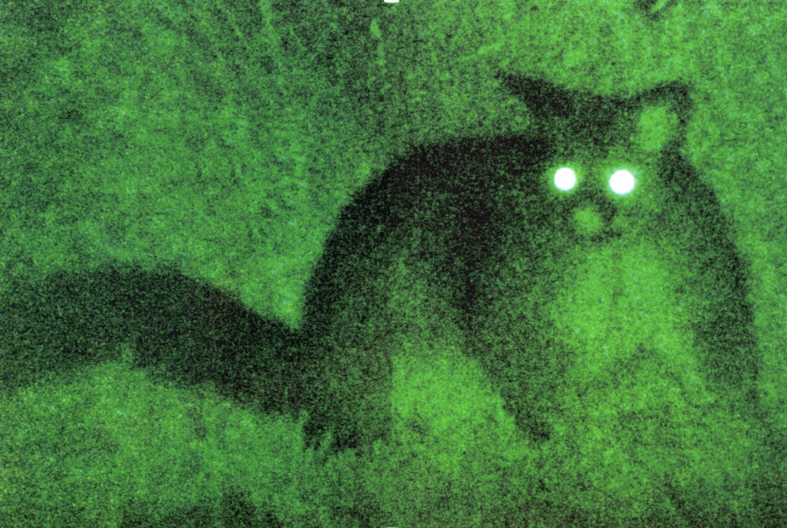 Photographed with night vision equipment, a possum's eye glow ghostly white in the darkness. Possums emerge from their dens after sunset and remain in the open for most of the night. They feed in several short bursts, interspersed with periods of grooming, travel between trees and complete inactivity.