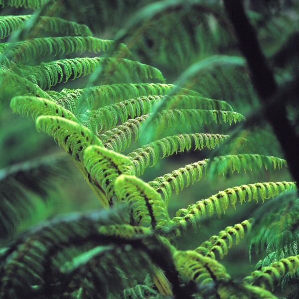 To the casual visitor, it is often the large and abundant tree ferns that are the most striking feature of New Zealand's forests. Eight species occur on the mainland and a further two are restricted to the Kermadec Islands. The black tree fern or mamaku, Cyathea medullaris,