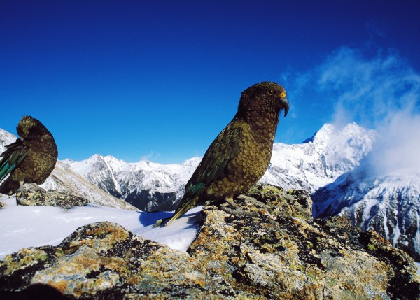 Kea, kings of the mountains, are safest when they remain aloof from humans. Despite signs discouraging the practice, many visitors still feed the insatiably delinquent birds, which are dying from bad diets. The army makes regular use of the national park's mountains for terrain training exercises.
