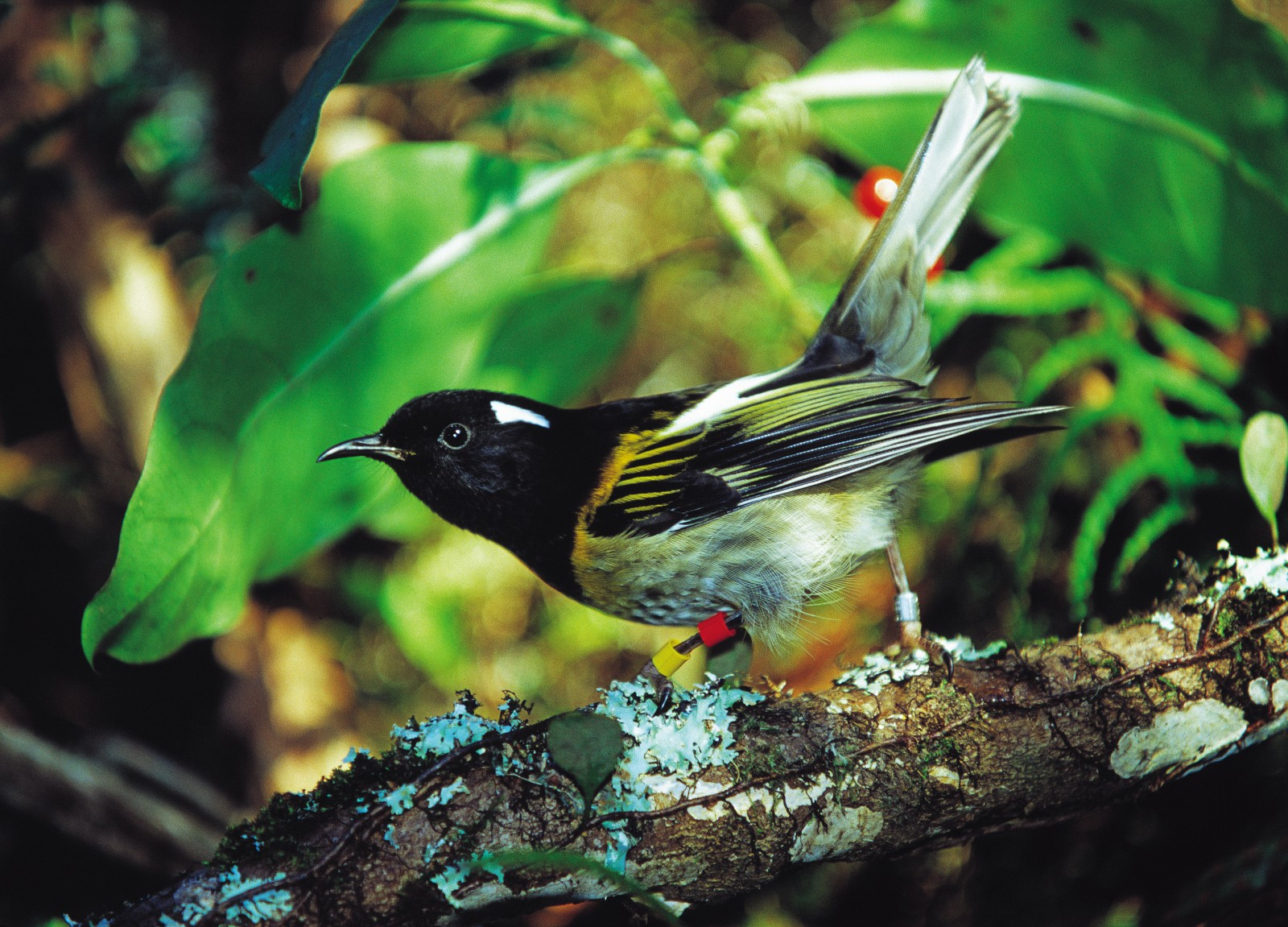 While both sexes adopt the same alert, tail-held-high stance, only the male stitchbird possesses the bright splashes of yellow on breast and wing (below) that make such a striking contrast with his black head plumage.
