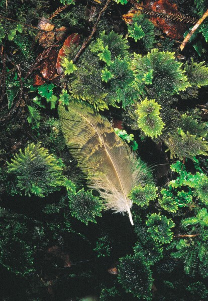 Kakapo feathers are distinctive not only for their mossy colour but also for their softness and pleasant fragrance.