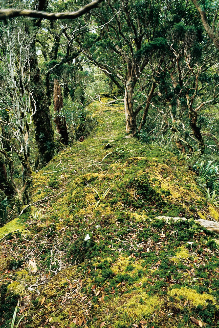 Male kakapo use networks of tracks and bowls on display grounds called arenas during the breeding season to compete for the attention of females-a courtship behaviour known as lekking. The same tracks and bowls are thought to remain in operation for hundreds, if not thousands, of years-as long as there are birds to use them. The overgrown state of the track at left- in Fiordland's Transit Valley-reflects the sad reality that kakapo have disappeared from the area.