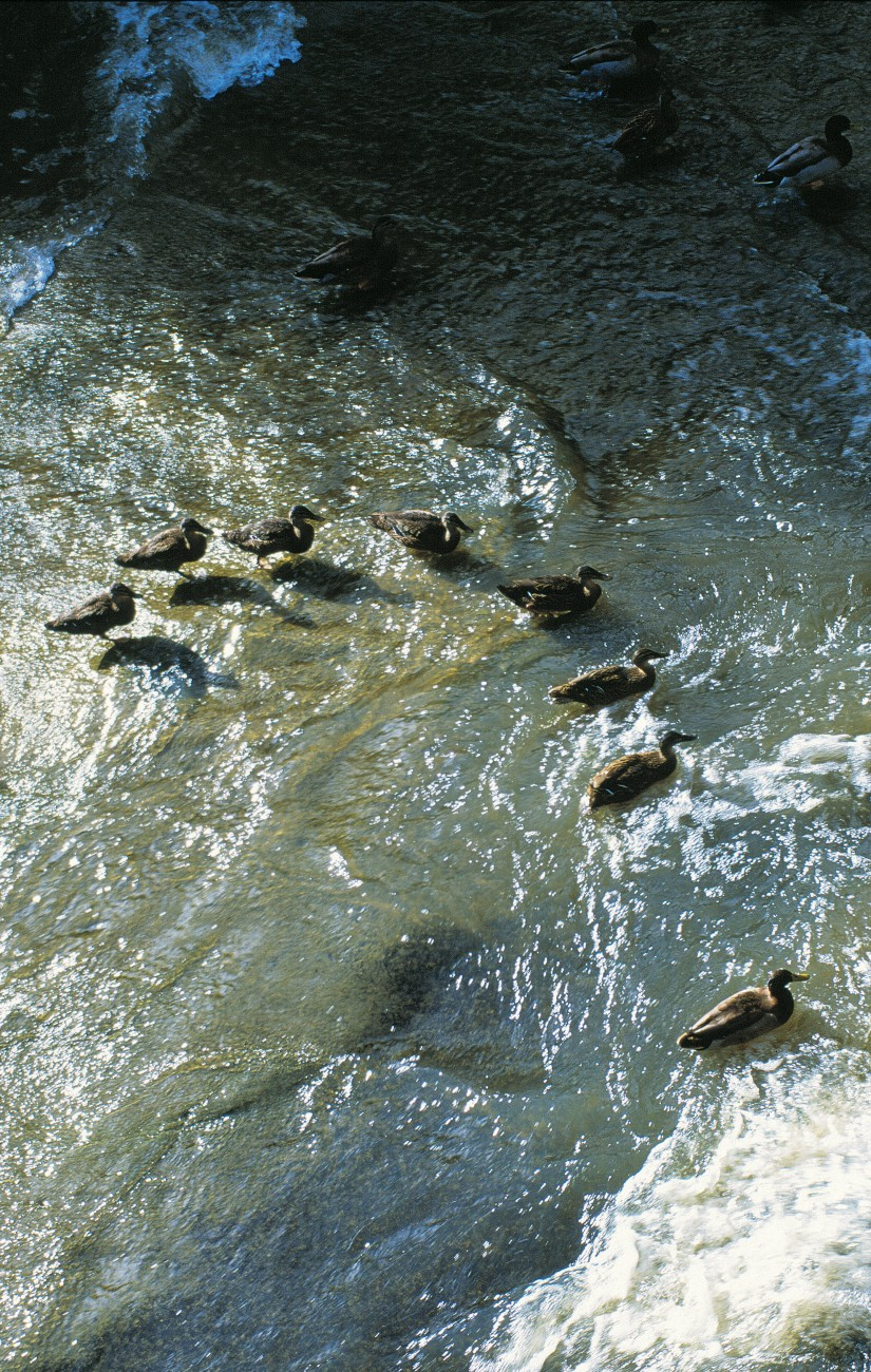 A paddling of mallards is an indicator that, as habitat and larder, the Opanuku meets a duck's needs.