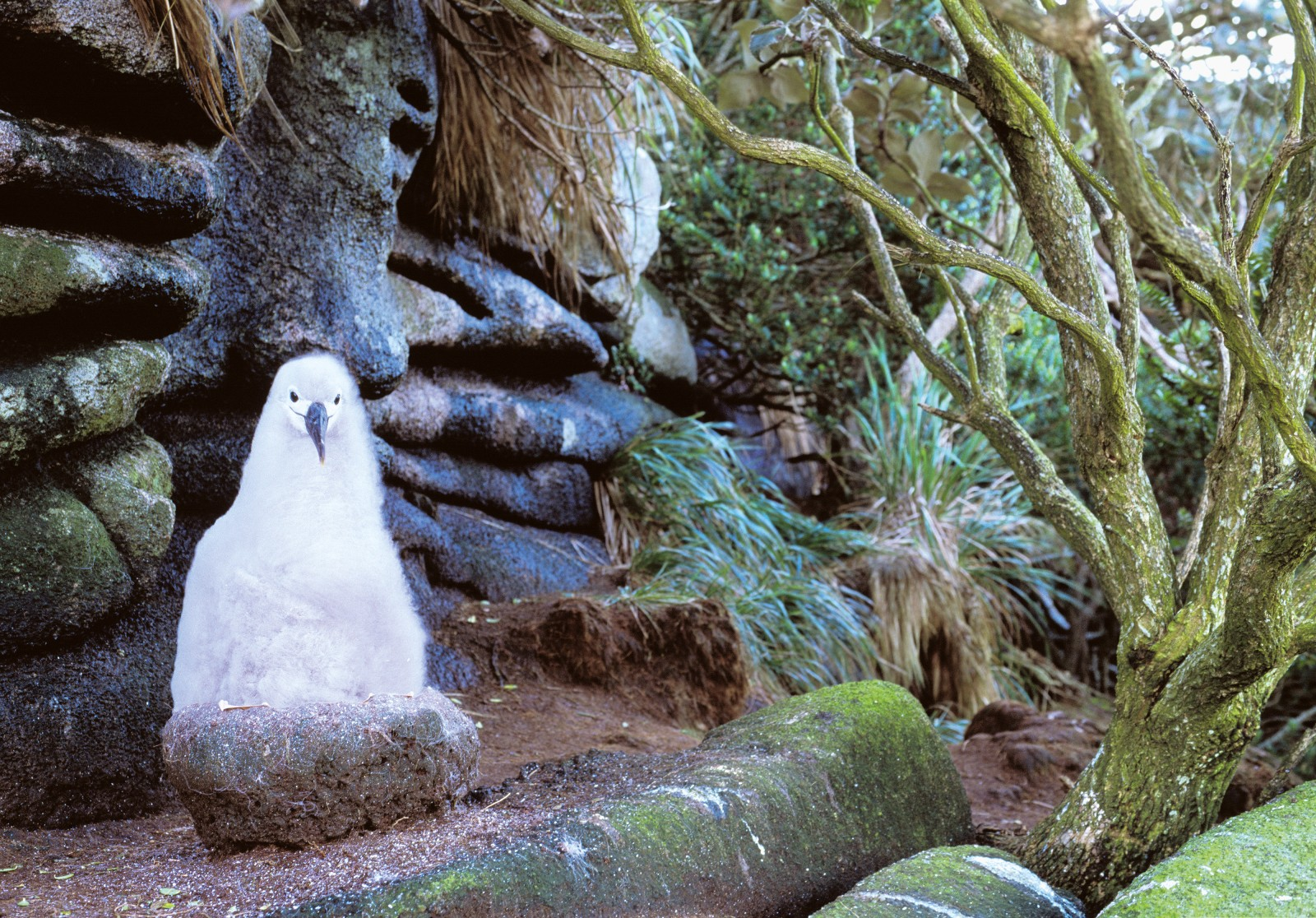 The southern Buller's albatross is one of the few albatross species to nest within forests. On the Snares, nest pedestals are clustered around the forest edges, so that adults do not have to walk too far when feeding their chicks. (They land in the open to avoid damaging their wings, and need a substantial cliff from which to take off.) A pair tends to use the same nest site year after year, adding successive layers of soil and vegetation to their pedestal, which can grow to 40 cm tall. A chick occupies the family pedestal continuously from hatching until it is ready to leave the colony—a period of nearly six months.