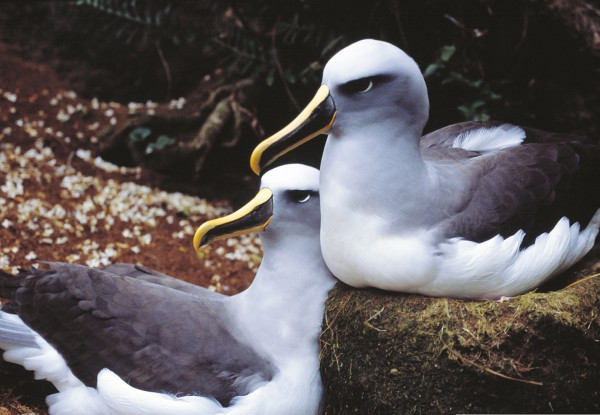Lifelong pair bonds are the norm in southern Buller's albatrosses, and divorce is very rare. The vast majority of pairs breed every year, raising a single chick over a nine-month breeding season, which commences in December. Pairs such as this one, reunited just before Christmas 2001, would not have seen each other for three months. The re-establishment of the pair bond involves displaying, calling, preening and just being together at the nest site.