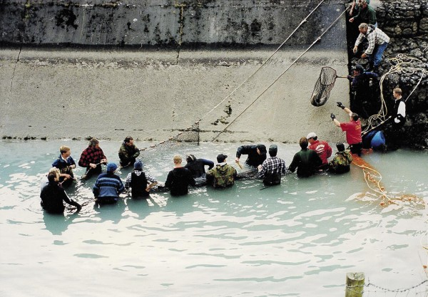 Salmon lovers go to great lengths to ensure successful spawning and hatching of the next generation of fish. One group of volunteers rescues salmon which have become trapped in the tailrace of the Highbank power station, on the Rakaia River, releasing them back into the river above the dam.