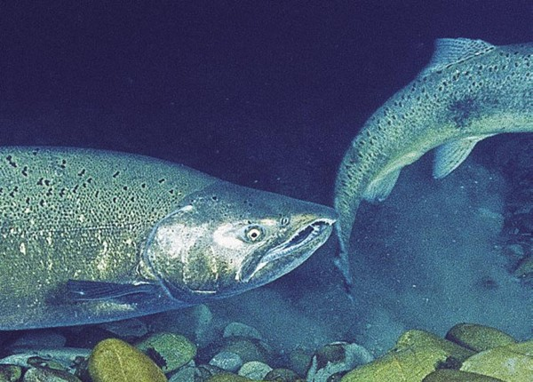 A male —identifiable bythe hooked lower jaw, or kype—will be on hand to release sperm over the clutch. Quinnat salmon breed only once in their lives, and die after fulfilling that task.