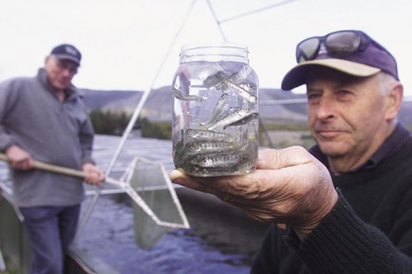 Smolts are a year old and weigh about 30 g when released into the Rakaia River (below), where some 60,000 are liberated each year. Another big release programme takes place in the Kaiapoi River, a tributary of the Waimakariri, where 30—40,000 smolts are released annually. Though costly, such releases—often funded and managed largely by volunteers (such as Geoff Hill, top, holding a jar of smolts at Montrose)—help bolster the wild population and make for more productive angling.