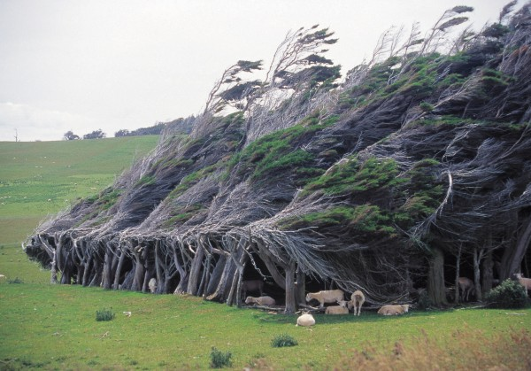 "Storms from the Roaring Forties sweep around southern New Zealand, blowing gales that have hammered this copse of macrocarpa into a wedge—a good windbreak for the sheep. The Catlins climate has been uncharitably described as ""winter for nine months and rain for the other three,"" but this deterrent doesn't stop people seeking out the region, turning the ""forgotten coast"" into an increasingly popular travel destination."