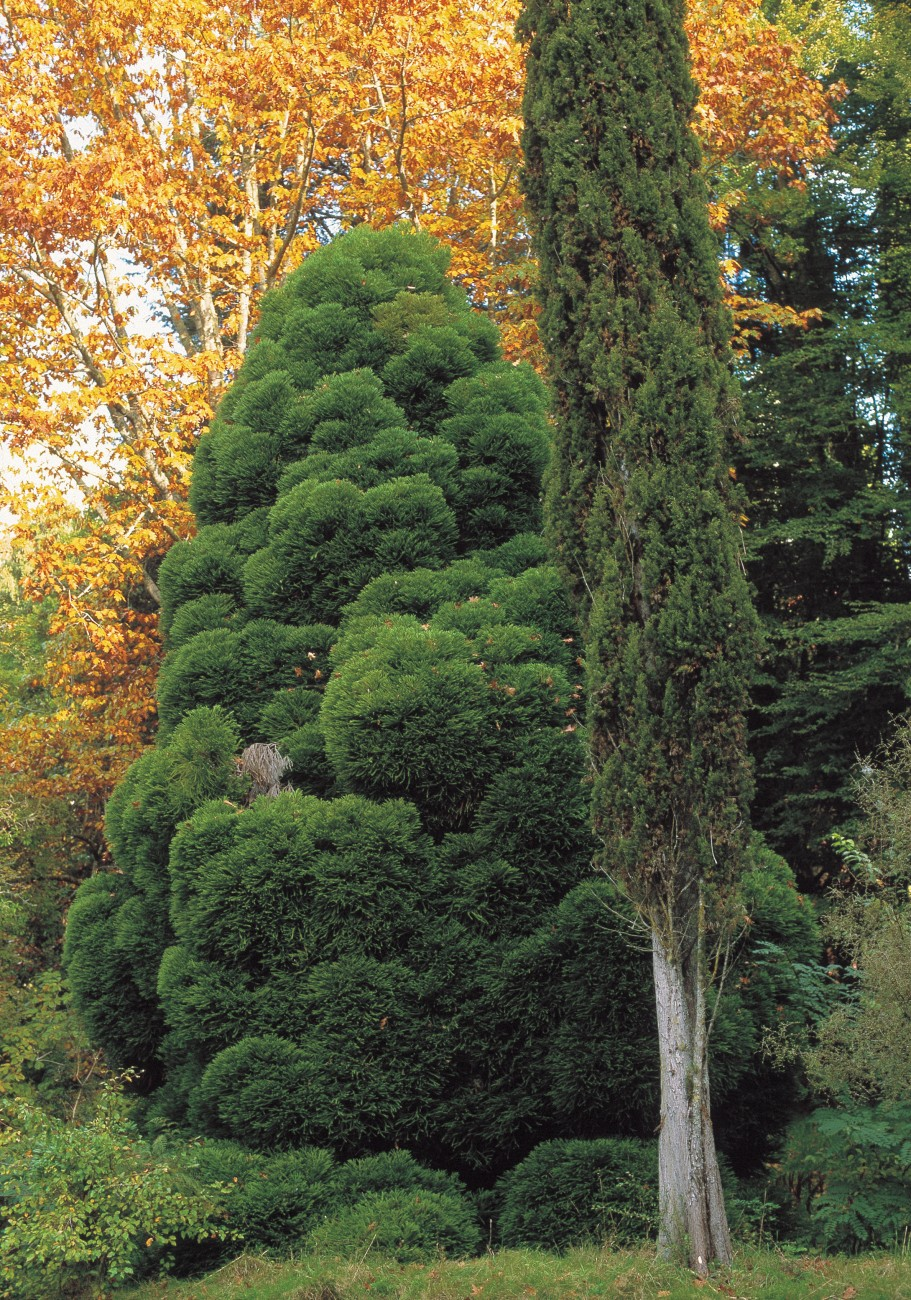 "two very different conifers, Cryptomeria japonica compacta (japanese cedar) and Cupressus sempervirens stricta (Italian cypress) are affectionately known as ""Fatty & Skinny."""
