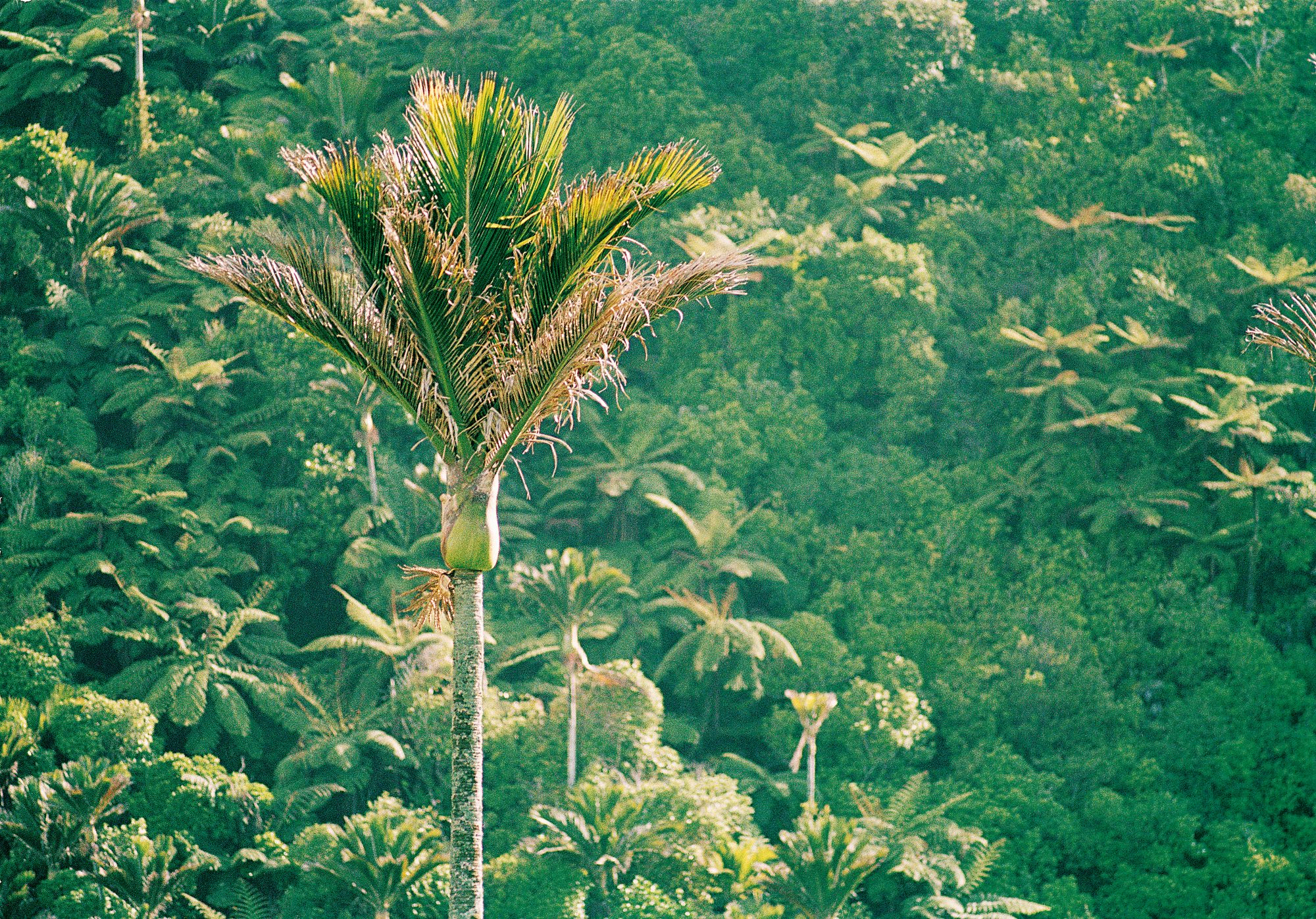 Note To Fox News This Is Not Palm Tree >> Nikau The Kiwi Palm New Zealand Geographic