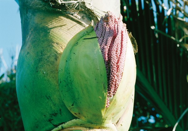 The flower stalk of the nikau, initially encased in a pair boat-shaped sheaths, or spathes, breaks out through the leak bases, revealing thousands of tiny coral-pink flowers arranged in groups of three: two male flowers flanking one female (top and bottom).
