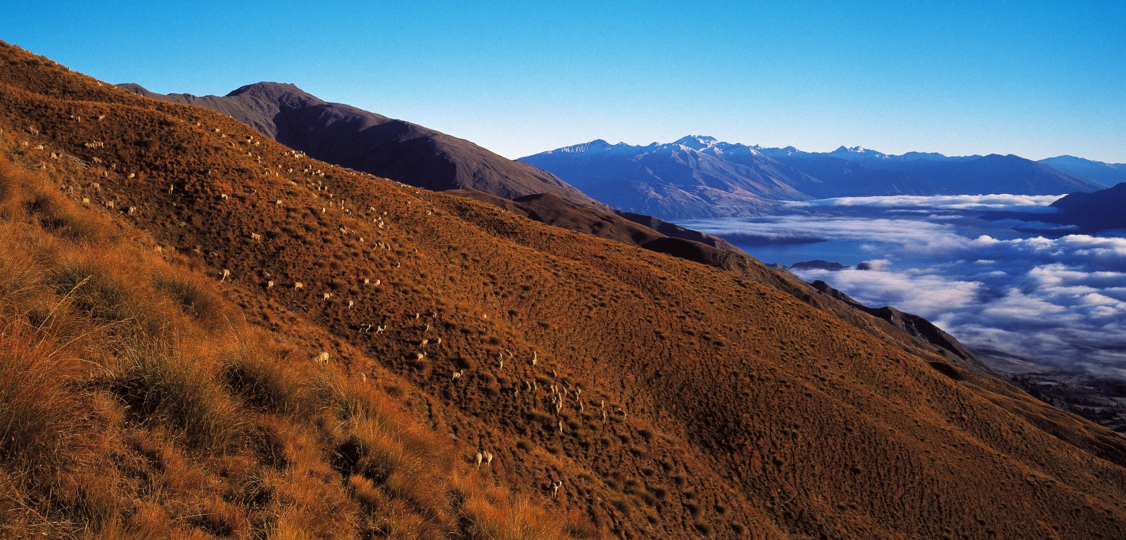 High-country tussock has traditionally provided grazing and shelter for fine-woolled merino sheep, which do little lasting harm to the plants.