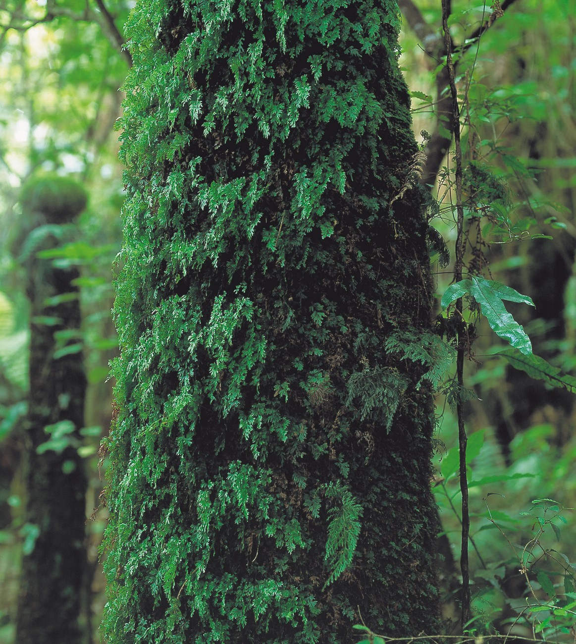 Decorating this tree trunk is the epiphytic Hymenophyllum flabellatum, with a few fronds of the larger H. sanguinolentum.