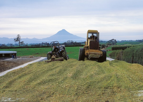 Taranaki is rich dairying land chiefly because of its mountain. Good rainfall—attracted by the mountain—helps, but of prime importance are the rich free-draining volcanic soils formed as ash and debris from cone collapses have broken down. In spring, when more grass grows than can be consumed, it is chopped fine, pressed down into silage pits and stored anaerobically for use when feed is tight.
