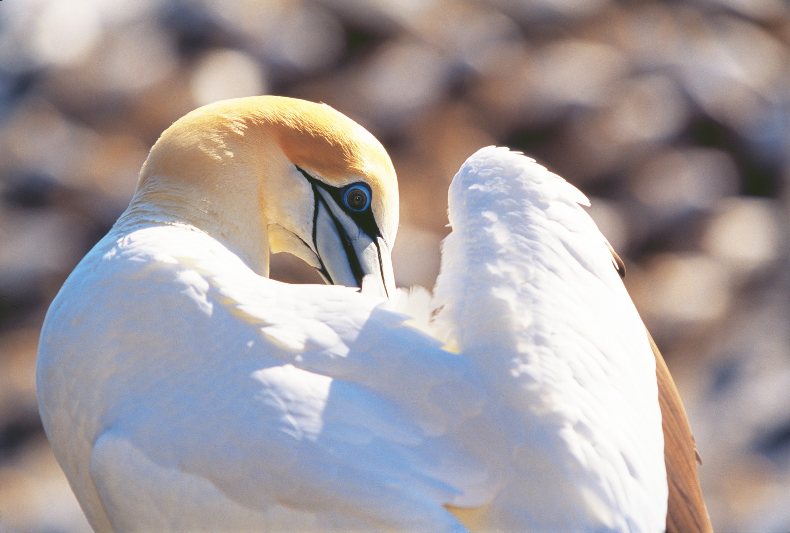 Keeping feathers in tiptop condition matters more for a gannet than for most birds. Not only do they fly scores or even hundreds of kilometers in a day, but they need to stay dry through dozens of high-impact dives as well. Few, if any, other birds dive from 30 metres up or hit the water as hard.