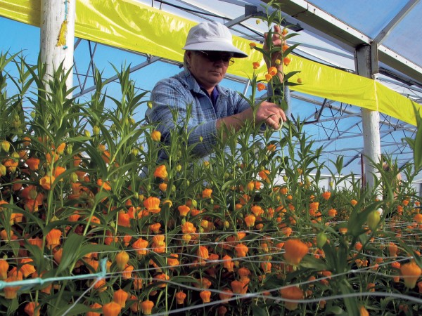 The largest horticultural endeavour at Whangarei Heads is a bulb-and flower-growing business owned by Urquharts Bay residents Martin and Heather Hunt. Christmas bells (Sandersonia aurantiaca) are ready to be picked—here by Shirley McIsaac, of Taurikura Bay—eight to ten weeks after planting. The main markets for the delicate blooms are in Asia.