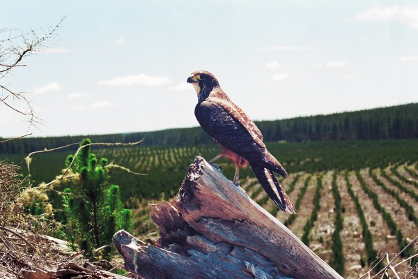 The uncommon New Zealand falcon is a species that seems happy to move into even quite freshly milled exotic forest areas, nesting successfully among the debris and feeding on newly-exposed birds and insects.