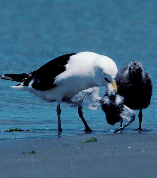 Black-backed gulls prey on weaker birds, behaviour that wins them few friends among the feathered fraternity. Watched by its salivating offspring, a black-backed gull devours a whitefronted tern chick near Bowentown.