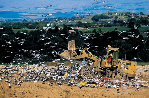 At the Oamaru tip gulls scuffle for tidbits as a digger spreads and buries rubbish. Over the last 60 years, food from landfills has fuelled a great increase in numbers of black-backed gulls.