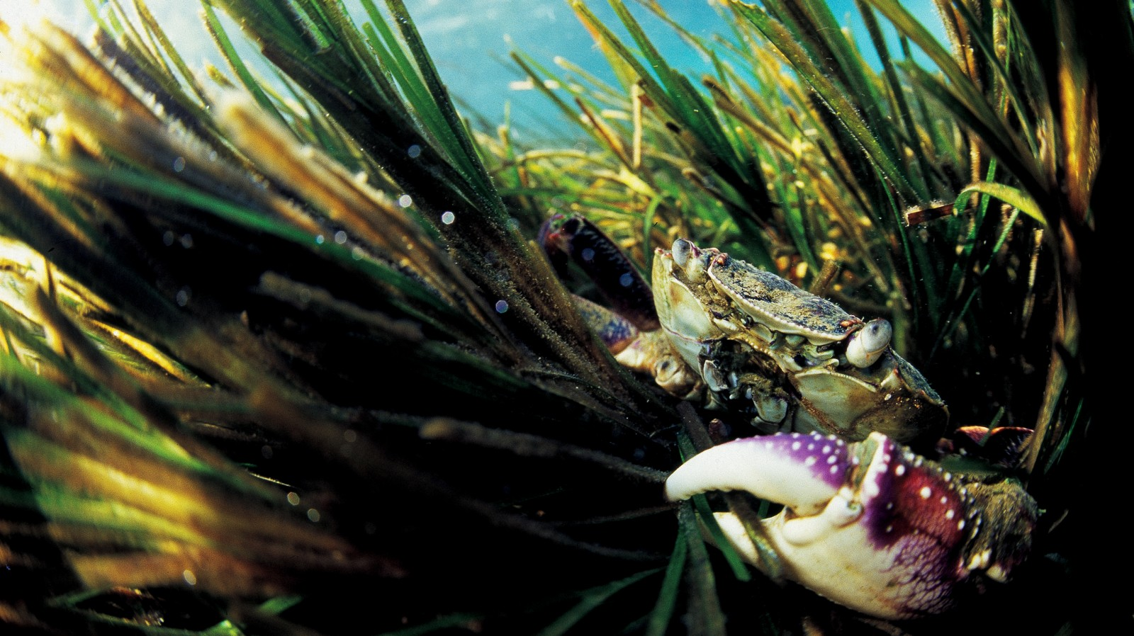 The Purple Rock Crab (Leptograpsus variegatus) normally lives on fairly exposed intertidal reefs, so is far from home when exploring the eelgrass of the estuary.