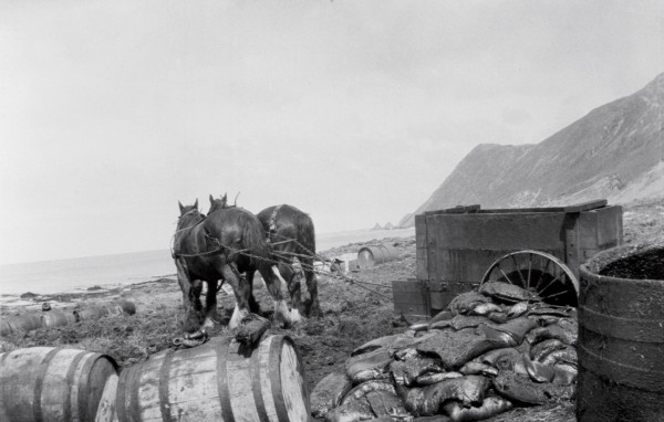 In latter days of Hatch's operation, a horse-drawn cart was used for transporting blubber at the North End, presumably taken from male sea elephants that ventured too close to the works. Large chunks of blubber awaiting rendering are piled up in the foreground.