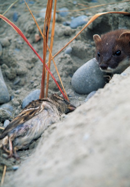 Ranging from beaches to the snow line, stoats are everywhere--even if their low-slung bodies, small size, and inconspicuous colour mean we are generally unaware of them. Those acute eyes and sharp ears--so vital in locating food--also mean they can stay out of the way of humans.