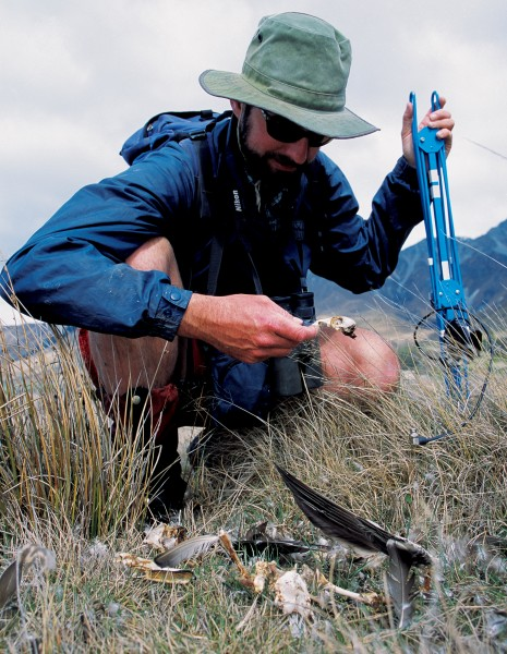 Here, Mike Elliot examines the remains of a bird killed by stoats in the Tasman valley, close to a site where the highly endangered black stilt occurs. Ground dwelling birds are not the only ones at risk since stoats are nimble climbers.