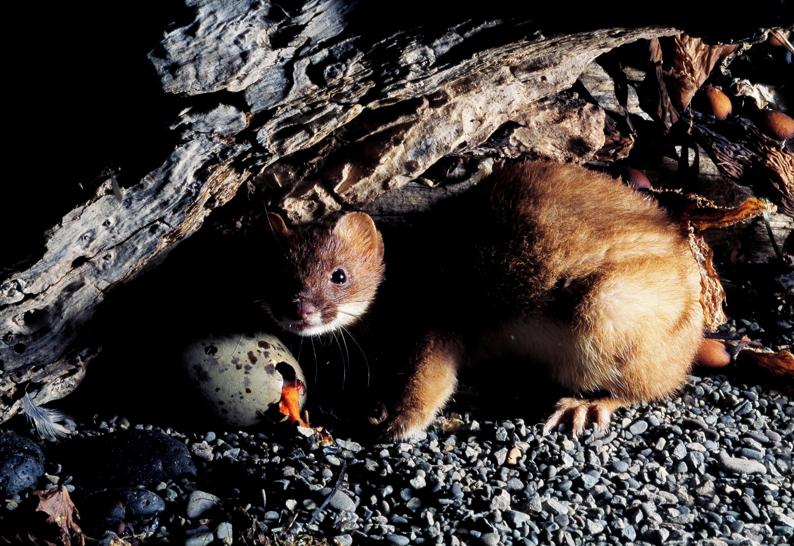 The menace of stoats | New Zealand Geographic