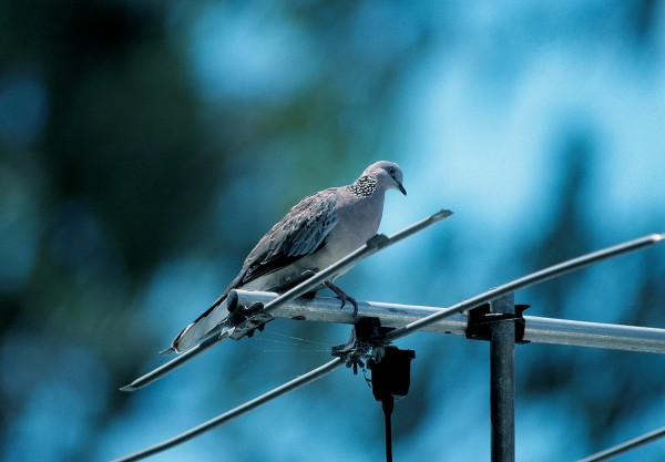 "The spotted dove hails from South-east Asia and wild populations are established in Auckland and the Bay of Plenty. Newly-hatched young are fed ""crop milk"", a protein -rich secretion produced by the crops of both sexes."