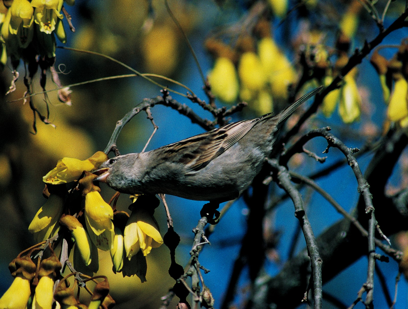 Commonest of all backyard birds is the sparrow, here seen nipping through the base of a kowhai flower to reach the nectar within. Sparrows have apparently learned the trick from silvereyes which also have beaks that are too short to reach nectar via the flower entrance in the manner of tui. Both introduced and native birds have had to adapt to the new flora that exists in suburban gardens.
