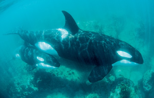 Baby orca are not much smaller than dolphins—over 2m long and approaching 200 kg at birth. They remain with their mother for a year or more.