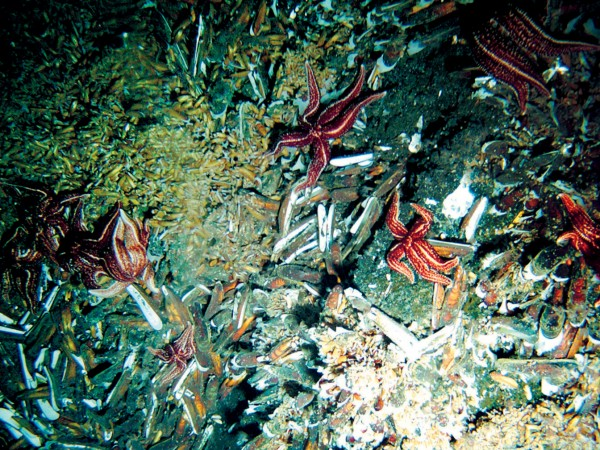 Vent organisms litter a patch of seafloor on the Rumble 5 volcano, north of the Bay of Plenty. The starfish predate the abundant clams, which are brown on the outside and white within the shell.