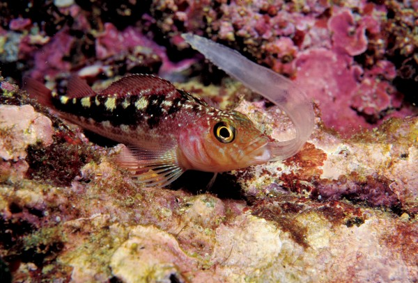 Most species of triplefin are generalist carnivores, feeding on small crustaceans, polychaete worms and gastropods, but this variable triplefin is devouring a larval eel.