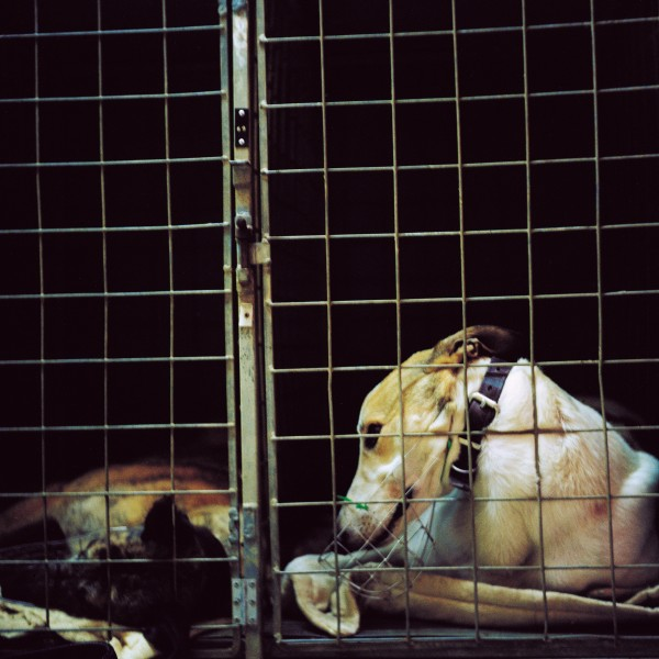 Before a race, dogs are caged in the pre-race kennel block according to race and starting box number.