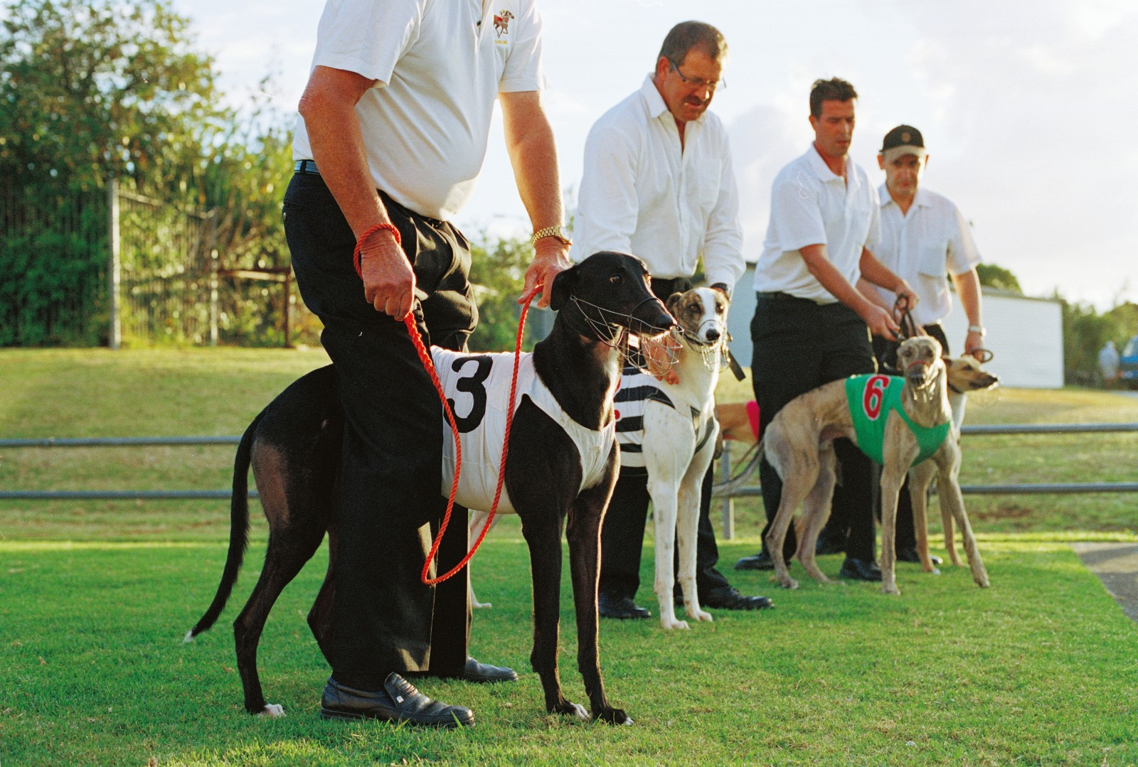 """A """"stir up"""" takes place before each race. Handlers hang on tightly as the lure is driven past and the dog becomes excited."""