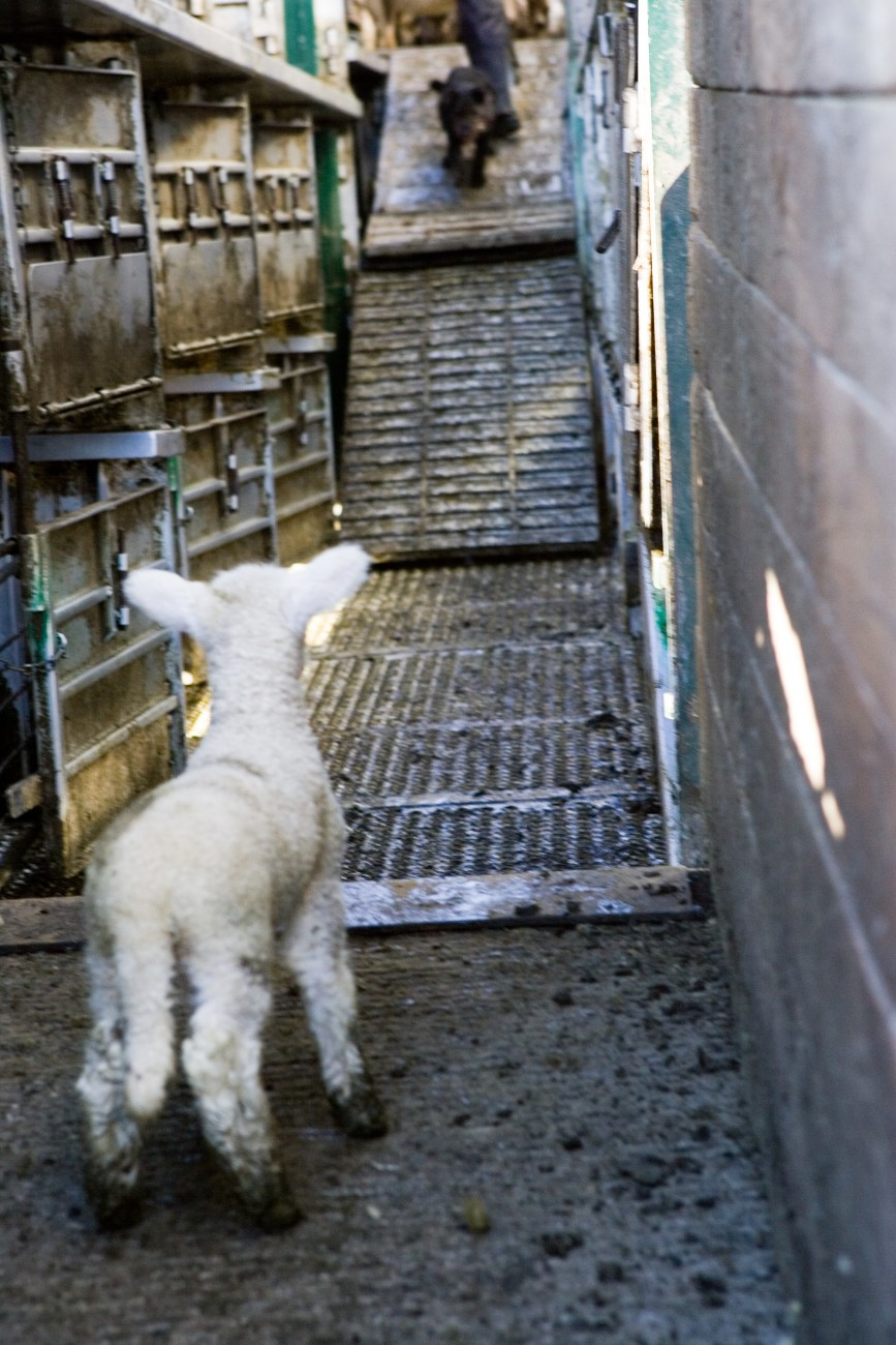 A lamb, just a few weeks old, contemplates its first trip on a stock truck. It's right to be apprehensive. Animals, especially sheep, are often packed pretty tightly into locker-likes spaces.